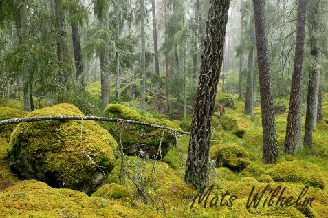Barrskog med mycket mossa på marken. Naturreservat, Myrkarby, Uppland. Foto: Mats Wilhelm / IBL Bildbyrå.