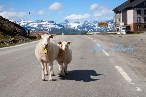 Får på vägen, typiskt norskt. Jotunheimen i bakgrunden. Foto: Mats Wilhelm / Naturfotograferna / IBL Bildbyrå.