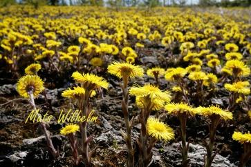 Massförekomst av Tussilago i tallplantering längs vägbygge, E4 Uppland. Foto: Mats Wilhelm / Naturfotograferna / IBL Bildbyrå;