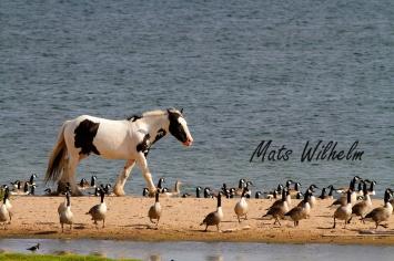 Häst på strand med kanadagäss, Ersta, Visingsö. Foto: Mats Wilhelm / Naturfotograferna / IBL Bildbyrå;