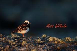 Roskarl, Svenska högarna. Foto: Mats Wilhelm / Naturfotograferna / IBL Bildbyrå;